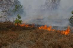 Durch kontrollierten Feuereinsatz wird überalterte Heide abgebrannt und verjüngt.